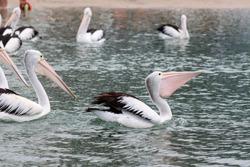 Pelicans floating on the ocean in Goldcoast, Queensland
