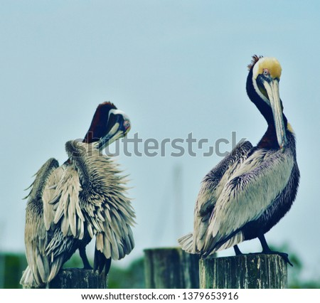 Pelicans fluffing just I front of the bay of Apalachicola Florida.