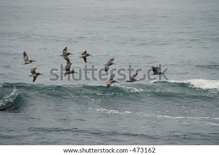 Pelicans fly in formation, Pigeon Point, California #473162