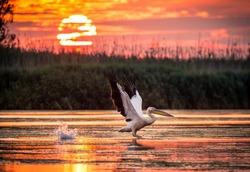 Pelicans flying at sunrise in Danube Delta, Romania