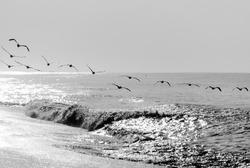 Pelicans flying over the pacific ocean, Pelecanus occidentalis, Guatemala volcanic beach, Monterrico, central america.