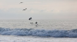 Pelicans hunt fish on the ocean coast in Assateague State park