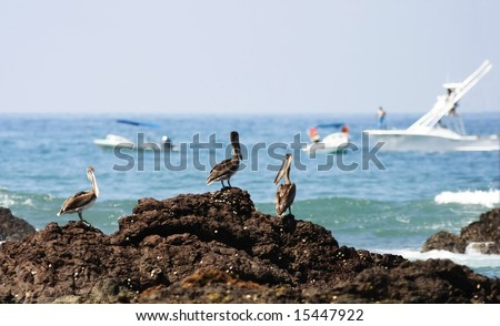 Pelicans in Corcovado national park (Costa Rica)