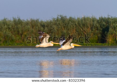 pelicans in flight in Danube Delta, Romania