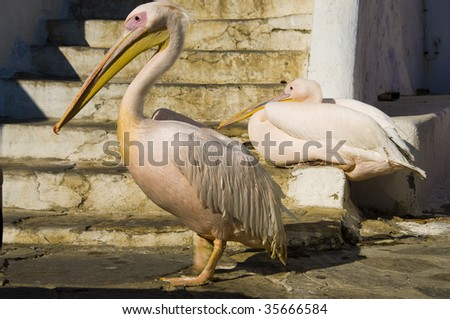 Pelicans in Mykonos, Cyclades, Greece