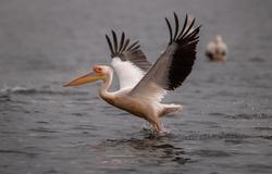 Pelicans in the Danube delta Romania. White pelicans flying in the Danube Delta Biosphere Reserve in Romania.