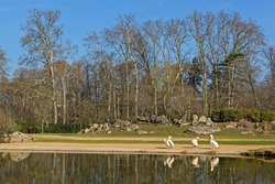 Pelicans in the morning light of their pond, Parc de la Tete d'Or. Parc de la Tete d'Or is one of the larger city park in France