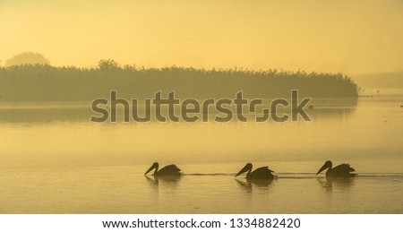 Pelicans in the morning mist. Morning mist before dawn. #1334882420