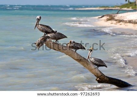 Pelicans on a Tree