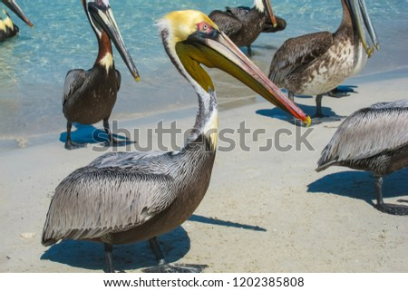 Pelicans on the beach Varadero, Cuba. One on the front of pic, the others are on the back. Blue sea and grey sand background, outdoors, sunny day in tropics. Exotic animals (birds).