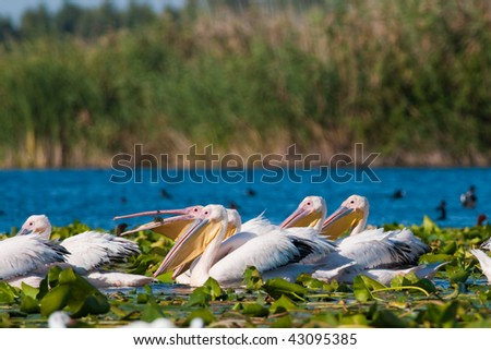 Pelicans on water