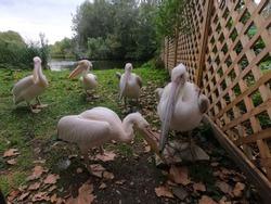 Pelicans Photshoot in a park