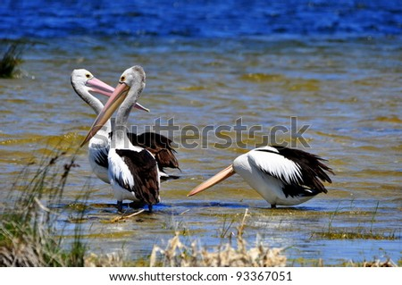 Pelicans Playing