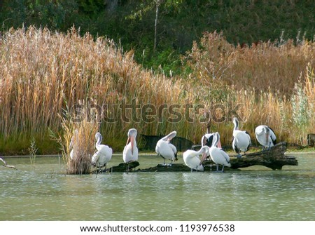 Pelicans resting and preening on the shoreline and trees near Waikerie on the Murray River in South Australia.