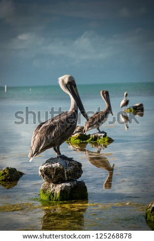 Pelicans sitting in a line, 3 in a row