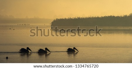 Pelicans swim across the water in the morning mist. Morning mist before dawn. #1334765720
