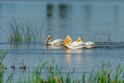 Pelicans Swimming in Elk Island National Park, Canada