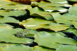Pelophylax, green frogs