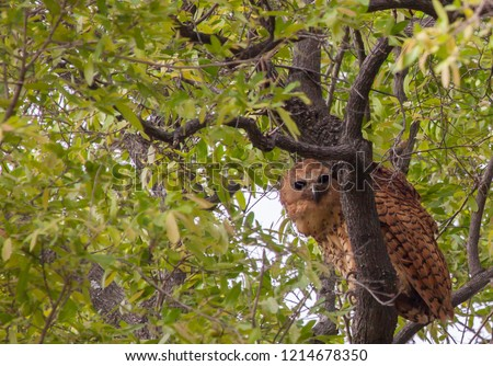 Pels fishing owl perched high up in tree in Botswana. Foto stock ©