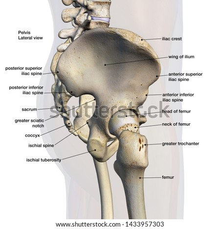 Pelvic and Hip Bones, Labeled Side View 3D Rendering