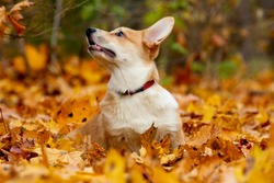 Pembroke Welsh Corgi dog in autumn Park