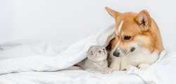 Pembroke welsh corgi dog  looks at baby kitten under a warm blanket on a bed at home. Empty space for text