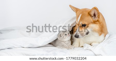 Pembroke welsh corgi dog  looks at baby kitten under a warm blanket on a bed at home. Empty space for text stock photo