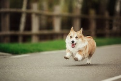 Pembroke Welsh Corgi, Dog Welsh Corgi running outdoors.