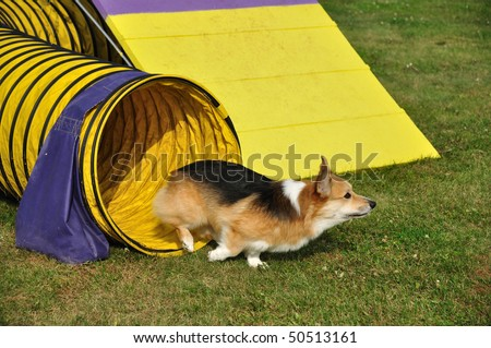 Pembroke Welsh Corgi Leaving Yellow Tunnel at Dog Agility Trial, copy space