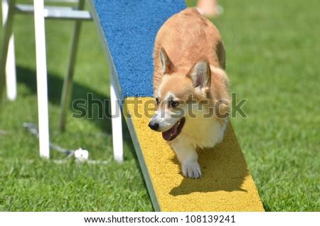 Pembroke Welsh Corgi on Dog Walk at a Dog Agility Trial