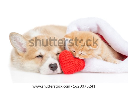 Pembroke Welsh Corgi puppy and kitten lie with a red heart. isolated on white background Stock fotó ©