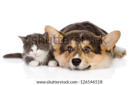 Pembroke Welsh Corgi puppy and kitten together. isolated on white background