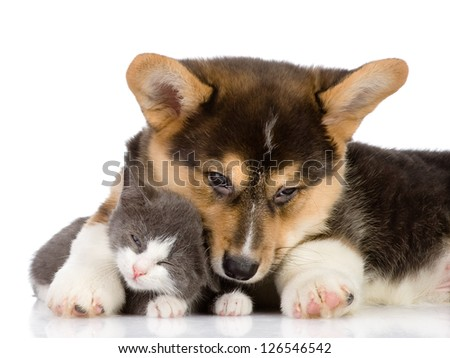 Pembroke Welsh Corgi puppy embraces a kitten. isolated on white background