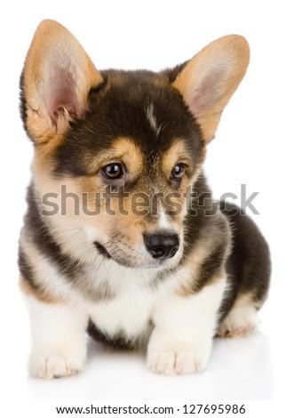 Pembroke Welsh Corgi puppy. isolated on white background - stock photo