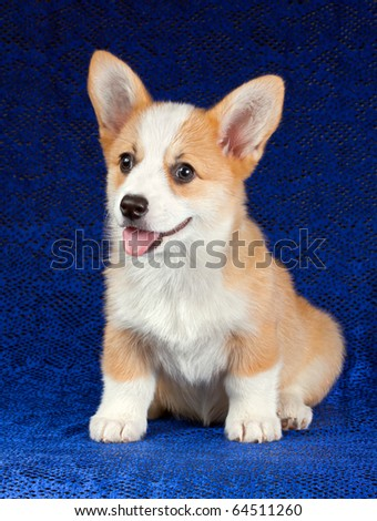 Pembroke Welsh Corgi puppy on a blue background