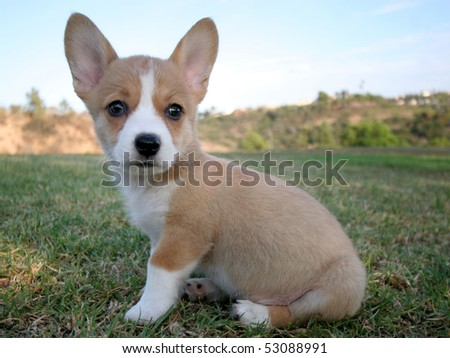 Corgi Puppies on Pembroke Welsh Corgi Puppy Sitting In Grass Stock Photo 53088991