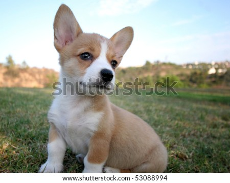 Corgi Puppies on Pembroke Welsh Corgi Puppy Sitting In Grass Stock Photo 53088994