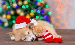 Pembroke welsh corgi puppy wearing funny santa hat sleep and hugs cute kitten on festive Christmas background