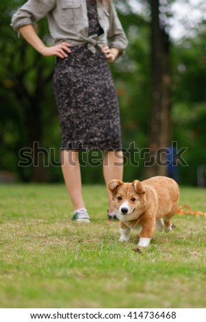 pembroke welsh corgi running on green grass #414736468