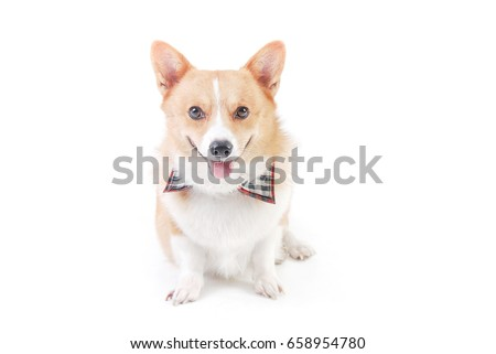 Pembroke Welsh Corgi sit and smile in studio on white background,funny animal picture