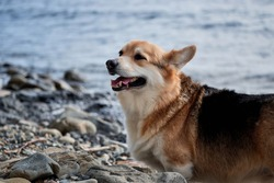 Pembroke Welsh Corgi tricolor walking on pebbly shore on background of blue sea and a breath of fresh air. Walking with dog along sea coast. Charming miniature British Shepherd.