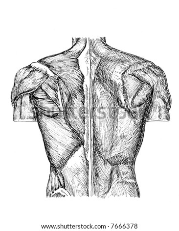 pen and ink anatomical drawing of the back of a man showing muscles, illustration was drawn by photographer
