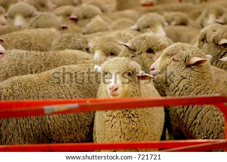 Pen full of sheep waiting to be sheared for their wool.