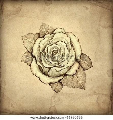 Pencil drawing of rose