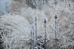 Pendent, flattened ornamental spikelets of North America wild oats (Chasmanthium latifolium) on a rusty metallic support in hoar frost in a garden in November