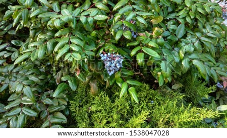 Pendulous cluster of blue berries with whitish coating berries, contrasting with luxuriant, dense, spiny-edged (like holly leaves), glabrous, glossy, dark green foliage on blue barberry shrub branches #1538047028