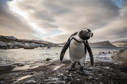 Penguin, Boulders Beach