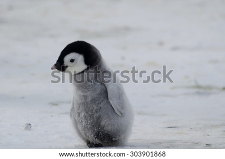 Stock Photo penguin chick off for a walk