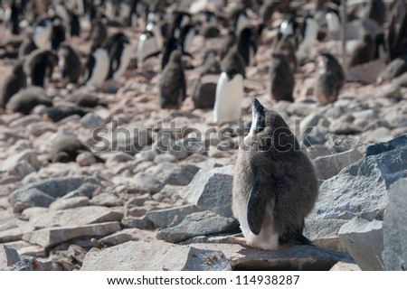 Penguin chick taking sunbath on the rocky beach