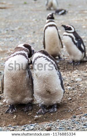 Penguin colony on Isla Magdalena island in Magellan Strait, Chile #1176885334